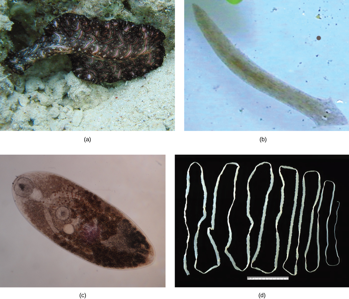 Concepts Of Biology Flatworms Nematodes And Arthropods Voer