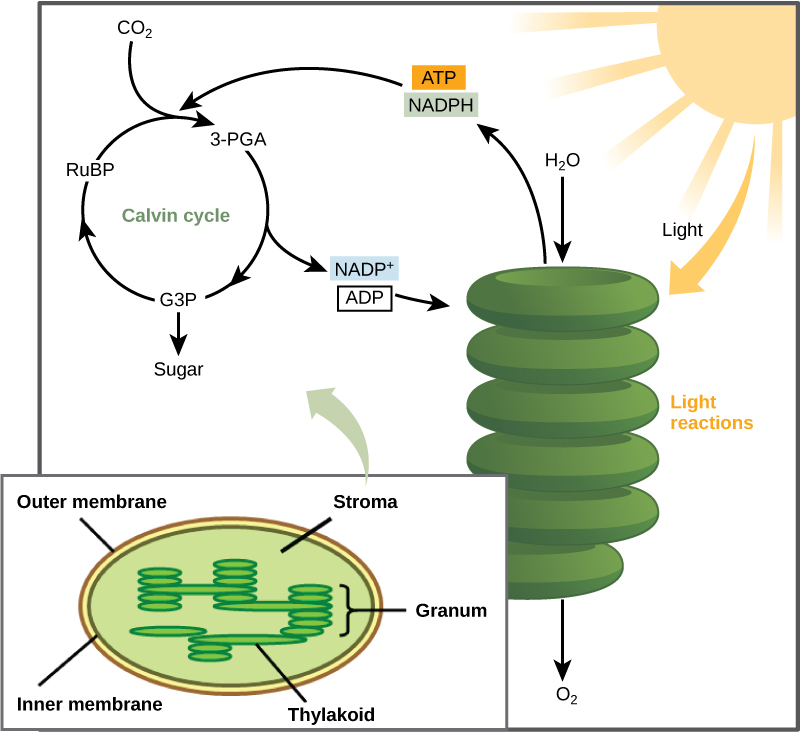 Concepts Of Biology The Calvin Cycle Voer
