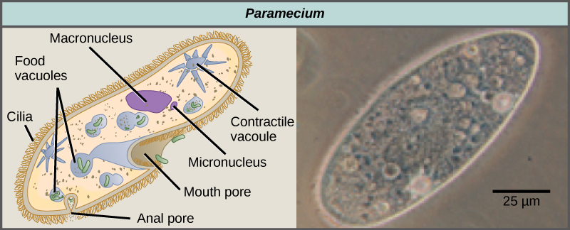 Groups Of Protists Voer