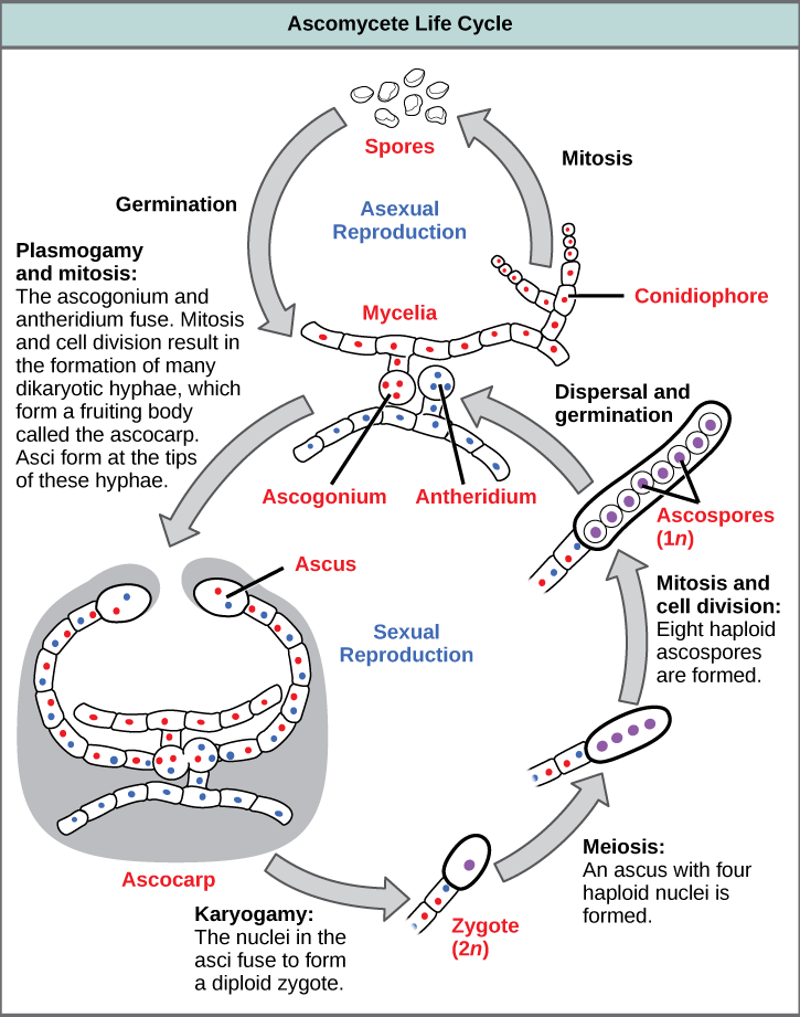 Colossal labs sex cycle that