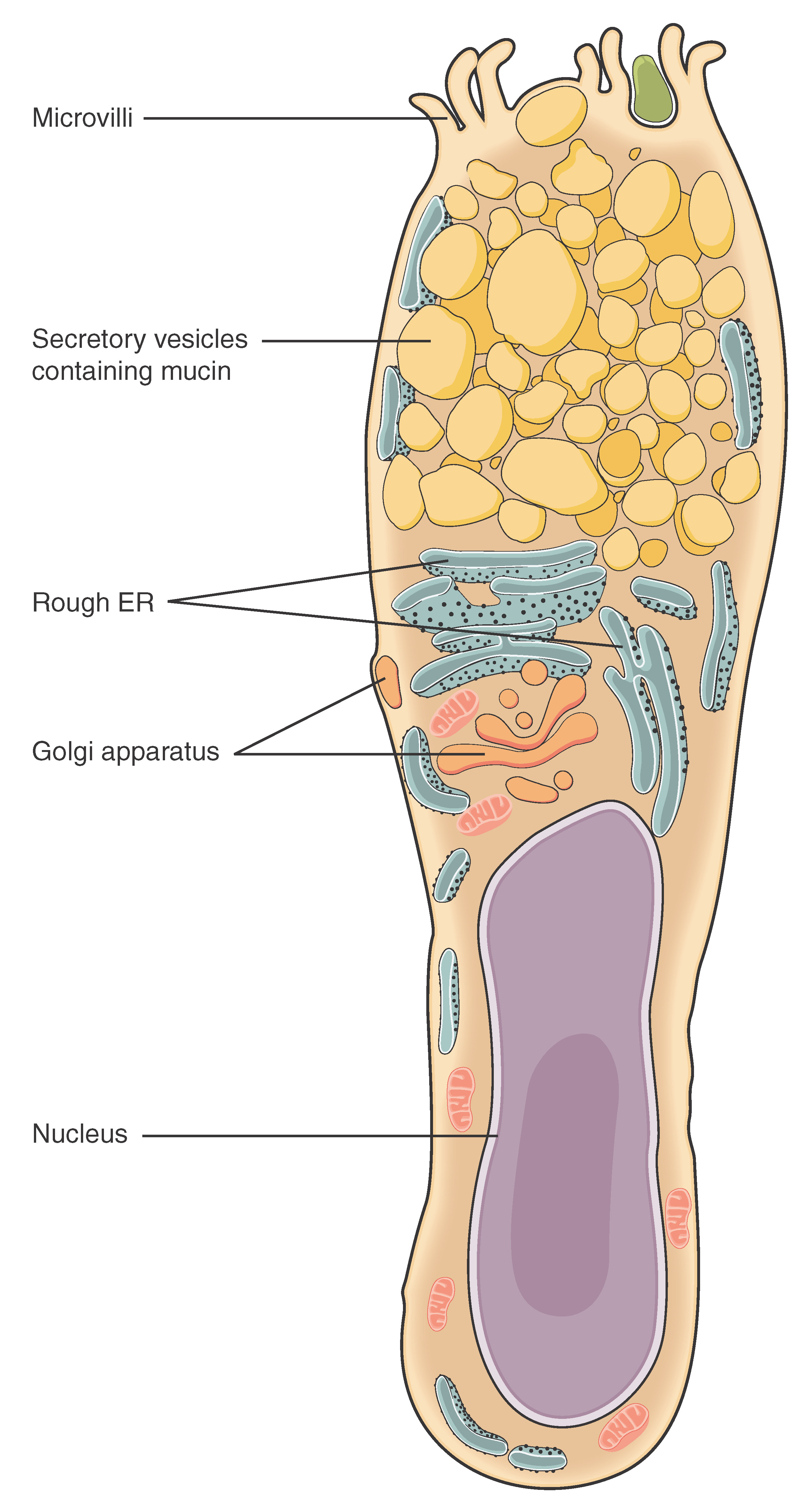 Anatomy & Physiology: Epithelial Tissue - VOER