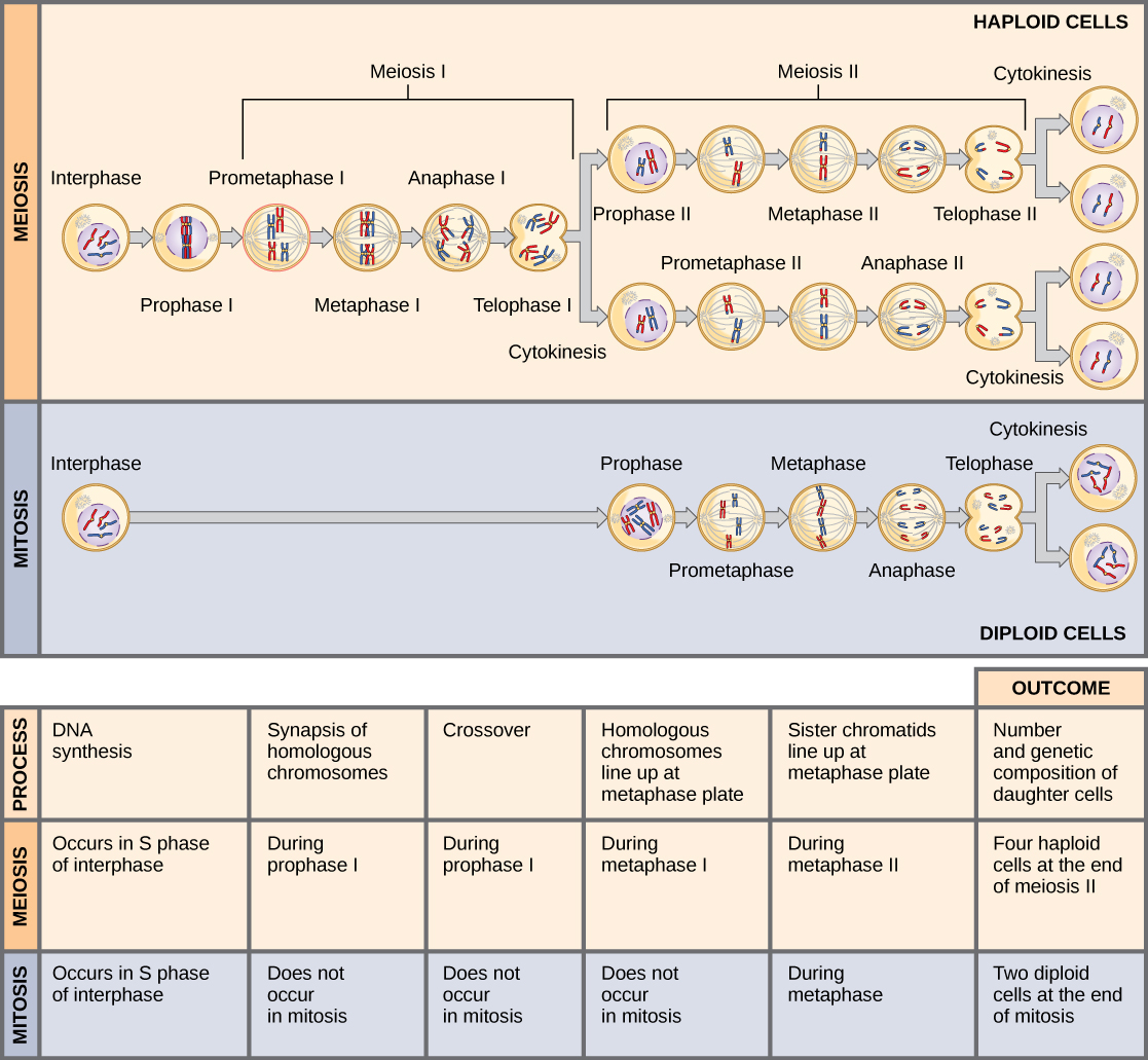 The Process    of Meiosis     VOER